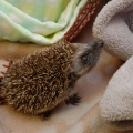 Hoglets Seamus and Padraig rescued just in time