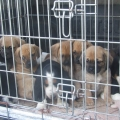 ISPCA congratulates the Scottish SPCA on recent conviction for puppy trafficking