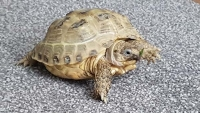 Horsefield tortoise Hilda is recovering well under specialist care at the ISPCA