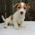 ISPCA appeals for new homes for large number of Jack Russell Terrier dogs and puppies