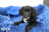 ISPCA issue appeal for help with emergency surgery to save sick puppy