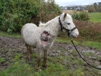 Pony left to suffer heavy in foal with severely infected wound
