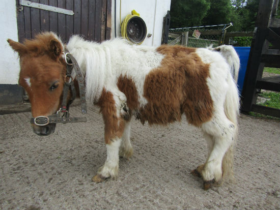 ISPCA seizes 4 Shetland ponies and a foal from Co. Meath property